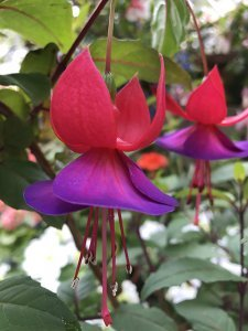 Sue McDougall gardening